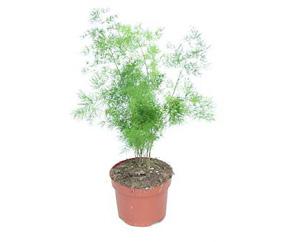 asparagus-sprenzheri-densiflorus