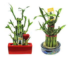dracena-bambuk-lakki