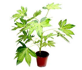 fatsiya-variegata
