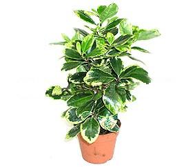 korinokarpus-variegata