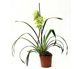 orhideya-cimbidium