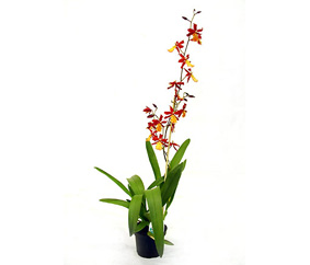 orhideya-kambriya-miks